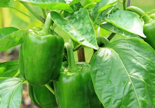 Paprika a biokertben